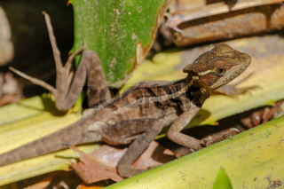 a female Jesus Christ Lizard Cahuita National Park South Africa