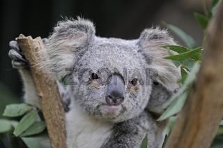 Koala Bär, Phascolartus cinereus, Queensland, Australien