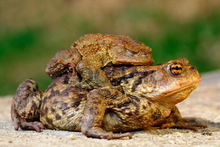 common brown toad in mating season ( Bufo )