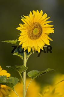 Sonneblume (Helianthus annuus), Bayern, Deutschland, sunflower, bavaria, germany