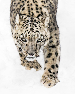 Snow Leopard on the Prowl X