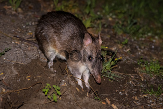 Southern brown bandicoot, Wilsons Promontory National Park, Victoria, Australia