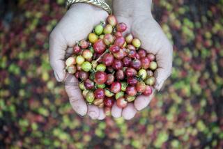 THAILAND LAMPANG COFFEE PLANTATIONS