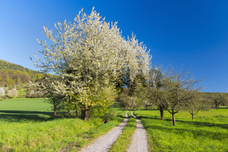 Field path with blooming cherry tree