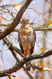 Junger Graubürzel-Singhabicht, Kruger NP, Südafrika, juvenile dark chanting goshawk, Kruger NP, South Africa