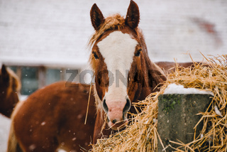 Head of a horse by the hay