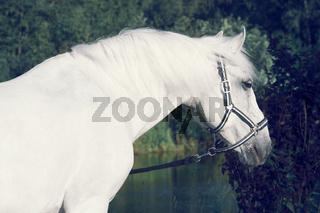 portrait of Lipizzaner horse  poseing near lake