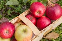 Bio Äpfel in einem Holzkorb
