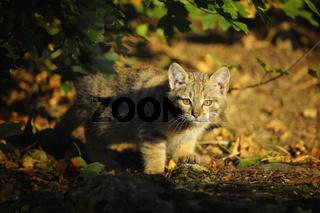 Young Wildcat