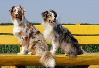 Australian Shepherd Paar