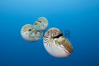 Drei Nautilus, Perlboote, Nautilus belauensis, Mikronesien, Palau, Group of Chambered Nautilus, Micronesia
