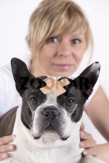 Boston Terrier mit Wundverband beim Tierarzt