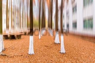 metasequoia woods in winter