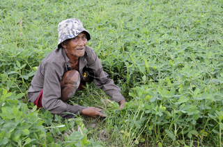 Alter Mann schneidet Klee, Kleefeld auf Bali