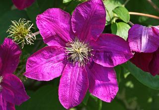 Waldreben, clematis, lila