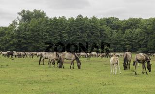 Wild lebende Pferde im Merfelder Bruch, Dülmen, Nordrhein-Westfalen, Juni,