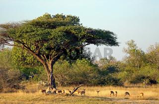Landschaft mit Impalas im Moremi Wildreservat Botswana