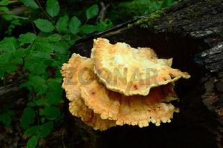 Schwefelporling, Laetiporus sulphureus,