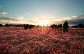 sunset over flowering heather