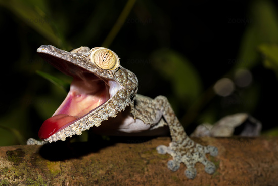Giant Leaf-tail Gecko, Uroplatus fimbriatus
