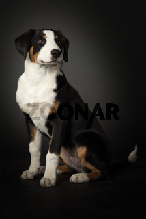 appenzeller sennenhund in ganzansicht auf schwarz