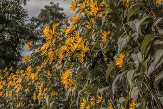 Gelber Sonnenhut (Echinacea)