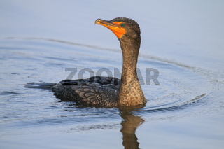 Female Double-crested cormorant swimming