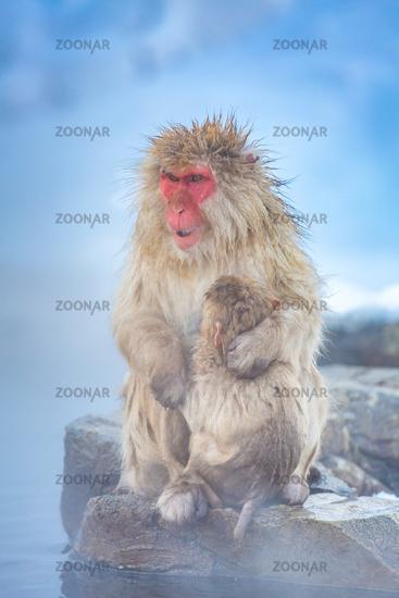 Snow monkey Macaque Onsen