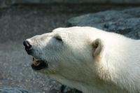 Eisbär (Ursus maritimus) zeigt seine Zähne