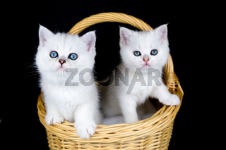 Two white kittens in basket on black background