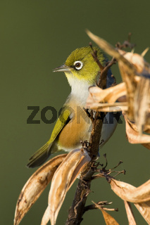 Mantelbrillenvogel, Zosterops lateralis, sitzt auf verbluehtem Neuseeland-Flachs im ersten Morgenlicht, Coromandel-Halbinsel, Nordinsel, Neuseeland, Silvereye, Waxeye, Zosterops lateralis, sitting on a faded New Zealand Flax plant in early morning light.