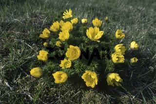 Fruehlings-Adonisroeschen (Adonis vernalis)