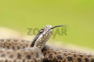 hungarian meadow adder macro image ( Vipera ursinii rakosiensis ready to strike )