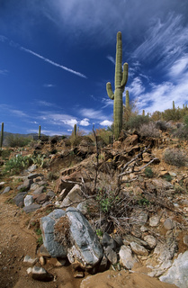 Saguaro Kakteen, Cereus giganteus, Arizona, USA, Saguaro cactus, America