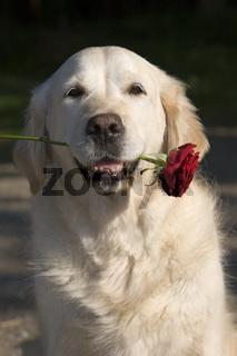 Golden Retriever mit roter Rose