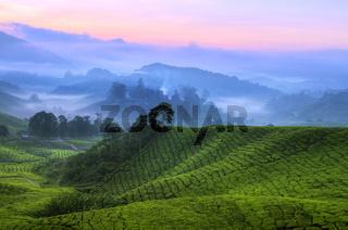 Tea Plantation Malaysia