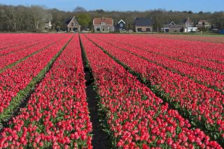 Feld mit pinkfarbenen Tulpen, Blumenzwiebelregion Bollenstreek, Niederlande