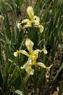 Iris germanica var. florentina, Florentiner Iris