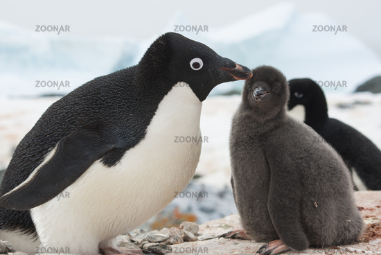 female and chick Adelie penguin on the nest