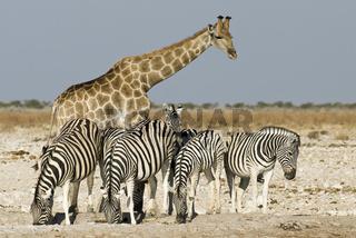 Giraffe, Zebra