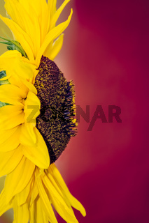 Close up of a large beautiful yellow sunflower head