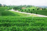 Tea plantation on the hill.