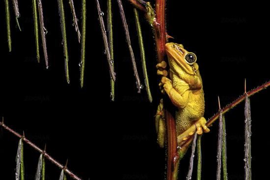 Männchen des Jordan's casque-headed tree frog