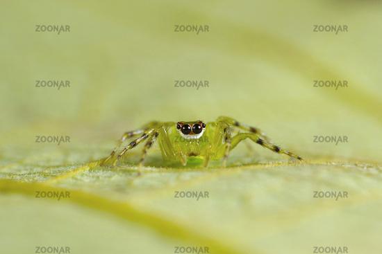 Jumping spider. Epeus cf indicus. Kolhapur, Maharashtra