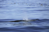 Sepiasturmtaucher mit Brydewal, Cory`s shearwater with Bryde`s whale