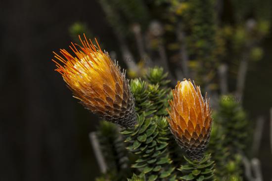 Endemische Chuquiraga Pflanze, Ecuador