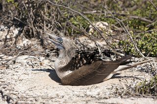 Blaufusstoelpel auf Nest, Galapagos, Ecuador