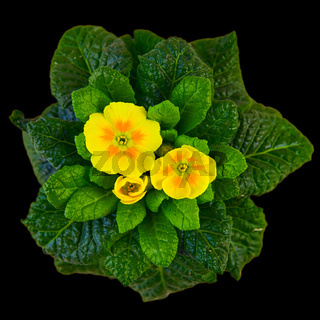 Gelbe Primel - yellow primerose