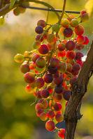 Eine Weinrebe mit reifen Weintrauben hängt an einem Weinstock