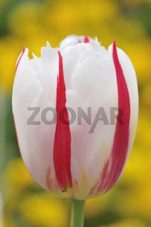 Tulpe, Tulipa, Tulip